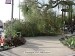 Pepper tree down at Kersting Court