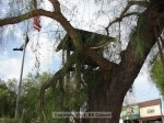 Broken pepper tree at Kersting Court
