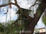 Broken pepper tree at Kersting Court