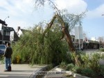 More pepper tree damage at Kersting Court, west end