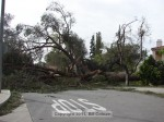 Tree blocking Jameson Court by Grand View.  I heard a report that this tree was 200 years old, not confirmed