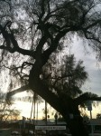 Pepper Tree to be Cut Down Feb. 29th