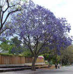The Jacarandas Are Coming!