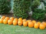 The Parkers don't grow ALL of the pumpkins in their yard, just the biggest