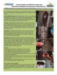 Polyphagous Shot Hole Borer (PSHB) Detected in Sierra Madre (Tree Infestation)